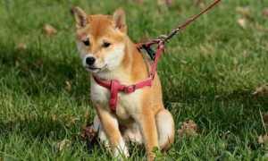 cane guinzaglio modificato 1