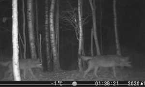 lupi vallecervo notte